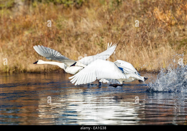 A pair of Trumpeter swan (Cygnus buccinator) take off from a beaver pond in Alaska - Stock Image