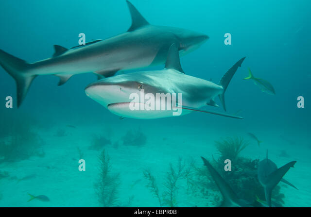 Two Sharks Stock Photos & Two Sharks Stock Images