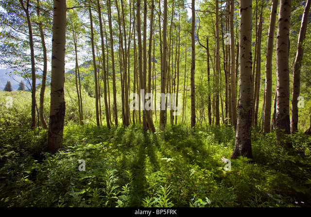 Backlit Aspen Trees and forest groundcover, Maroon Bells Snowmass Wilderness Area, White River National Forest, - Stock Image