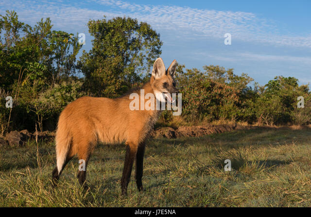 A Maned Wolf from Central Brazil - Stock Image