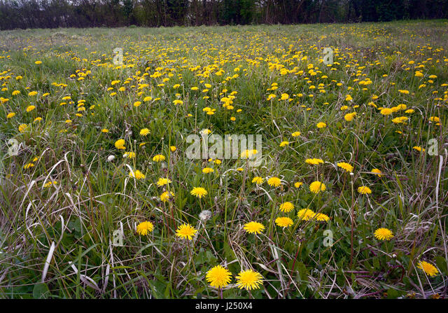 Wildflower meadow of dandelions in Cambridgeshire - Stock Image