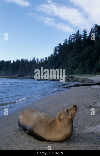 Steller sea lion (Eumetopias jubatus), Nootka Sound, British Columbia, Canada - Stock-Bilder