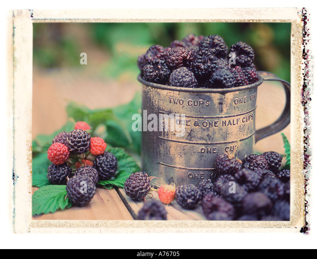 Tin cup full of fresh picked black raspberries in berry field polaroid transfer image - Stock Image