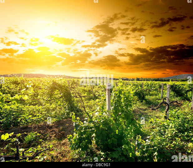 Green vinyard at the sunrise in Crimea - Stock Image