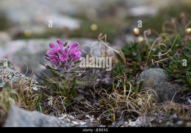 A tiny purple flower covered in fine hairs grows between sharp rocks on Svalbard - Stock Image