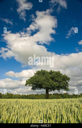 Germany, Schleswig-Holstein, Horst, field, old oak, - Stock Image