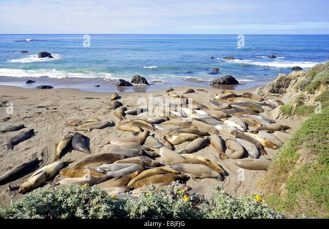 northern elephant seal (Mirounga angustirostris), colony at the pacific coast at the edge of Highway 1, USA, California, - Stock Image