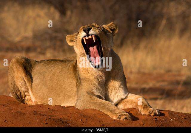 Lioness yawning,Etosha National Park,Namibia,Africa - Stock Image