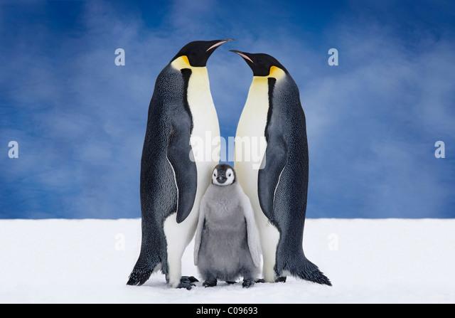 Portrait of Emperor Penguin Parents & Chick, Atka Bay, Antarctica, COMPOSITE - Stock Image