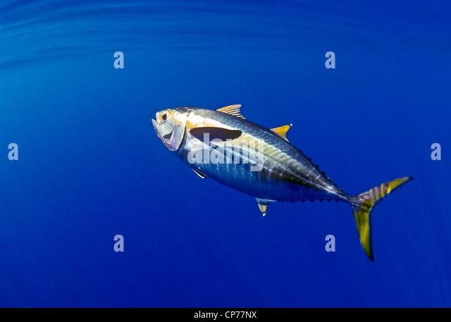 Juvenile yellowfin tuna - Stock Image