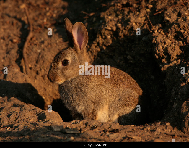 A small wild rabbit in front of his burrow. - Stock Image