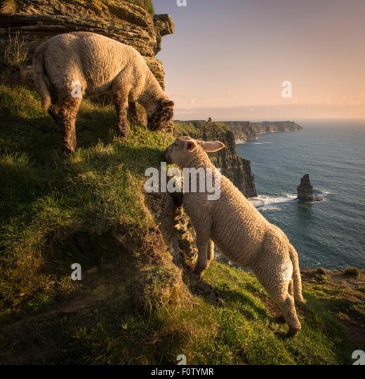 Sheep on Cliffs of Moher, Liscannor, Ireland - Stock-Bilder