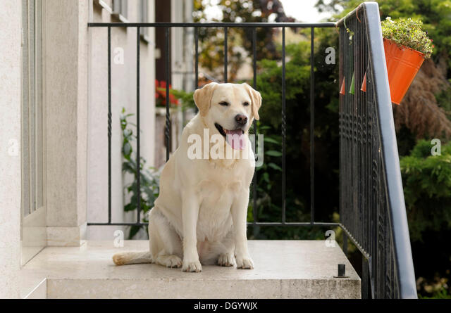 Blonde Labrador-Retriever sitting in front of an entrance - Stock Image