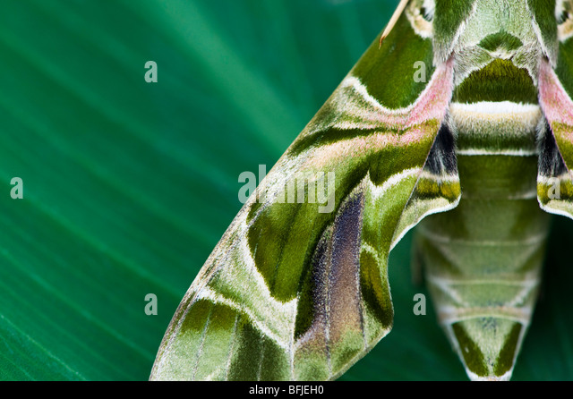 Oleander Hawk moth, Daphnis nerii. Abstract camouflage wing pattern - Stock-Bilder