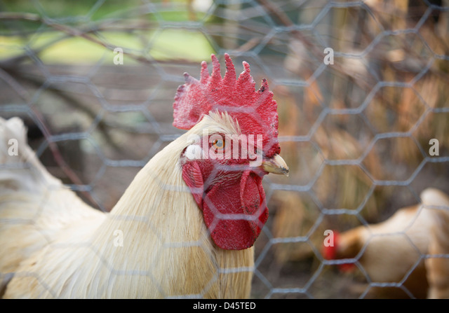 Rooster at London Heritage Farm, Richmond, British Columbia, Canada - Stock Image