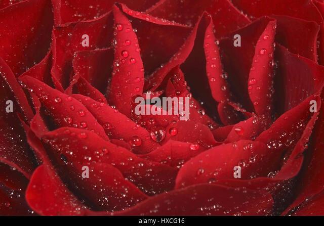 Rose blossom, Rosebluete - Stock-Bilder