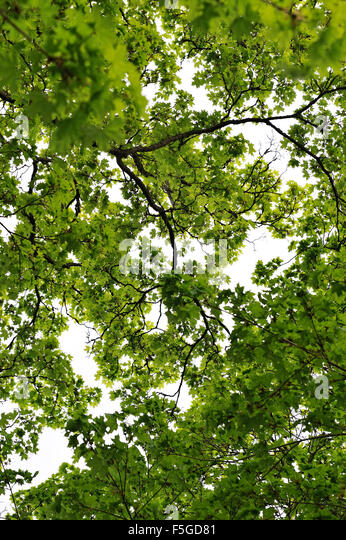 Sweden, Directly below view of tree - Stock Image