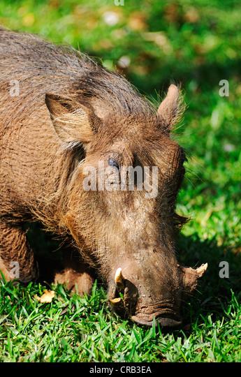 Warthog (Phacochoerus), Victoria Falls, Zimbabwe, Africa - Stock Image