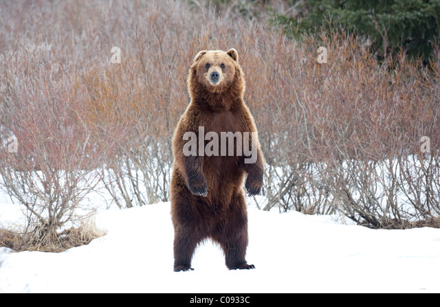 View of an adult Brown bear standing upright in snow at the Alaska Wildlife Conservation Center near Portage, CAPTIVE - Stock Image