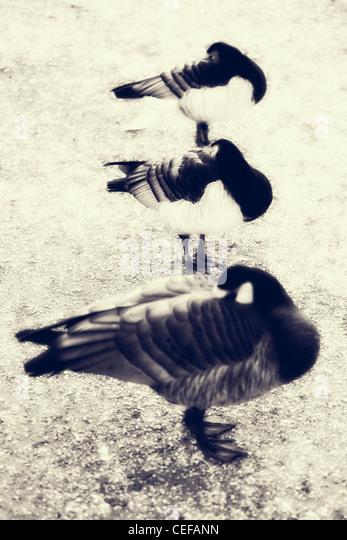 three sleeping ducks - Stock Image