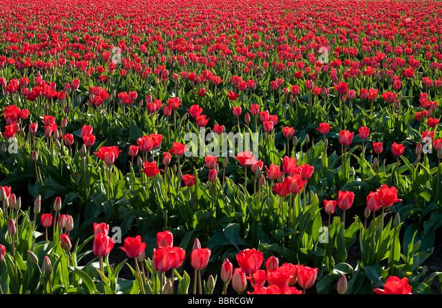Red tulip fields sunset light near Mount Vernon Washington State USA - Stock Image