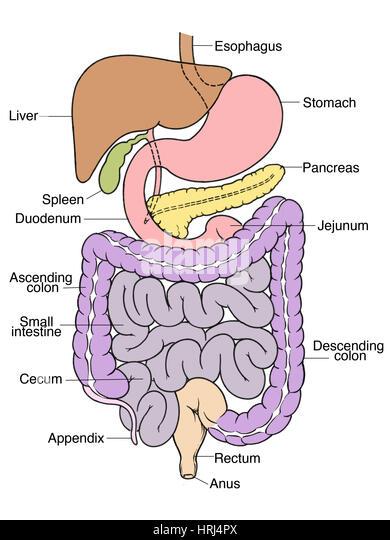 Anus anatomy images