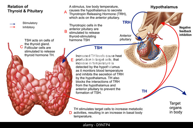 anatomical relationship of hypothalamus and pituitary gland