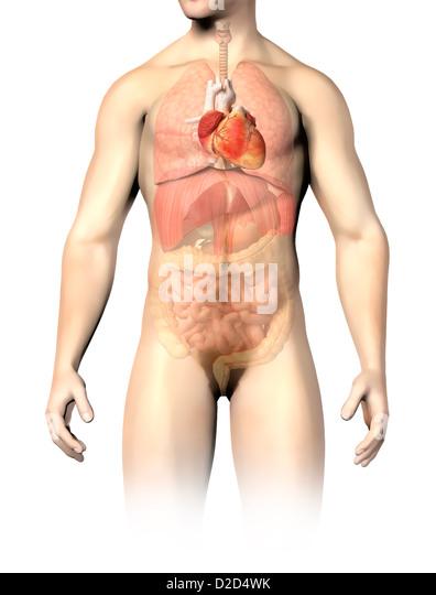 Male anatomy computer artwork - Stock Image