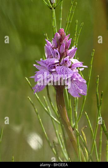Heath Spotted Orchid has flowers which vary greatly in colour. Inverness-shire, Scotland - Stock-Bilder