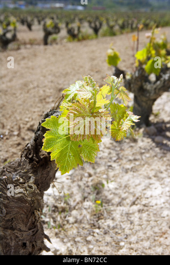 vineyard first spring sprouts in row field in Spain for wine production - Stock Image