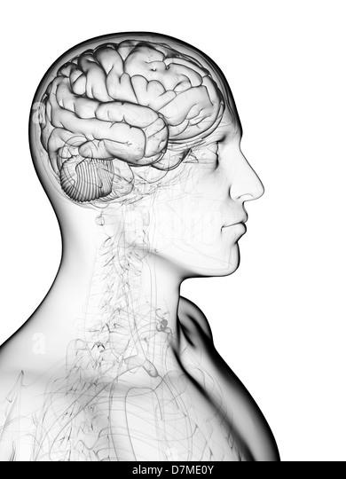 Male brain, artwork - Stock-Bilder