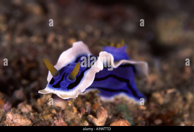 Chromdoris sp. - Stock Image