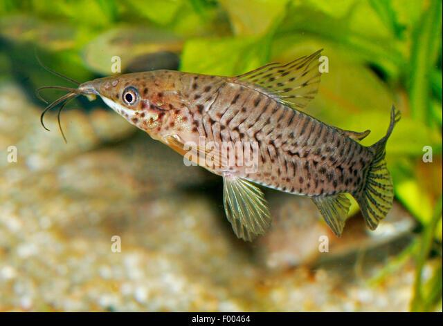 Porthole Catfish (Dianema longibarbis), swimming - Stock Image