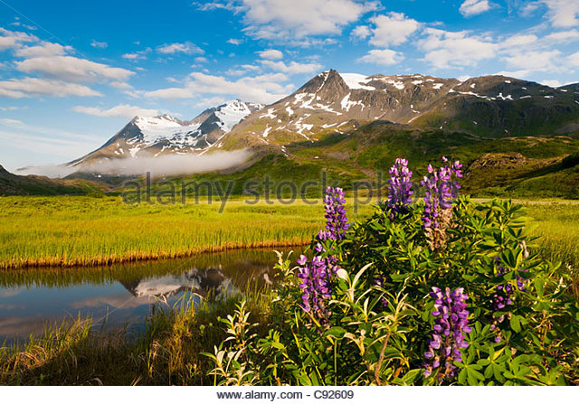 Scenic view of meadow and lupine wildflowers with Worthington Glacier and the Chugach Mountains in the background, - Stock Image