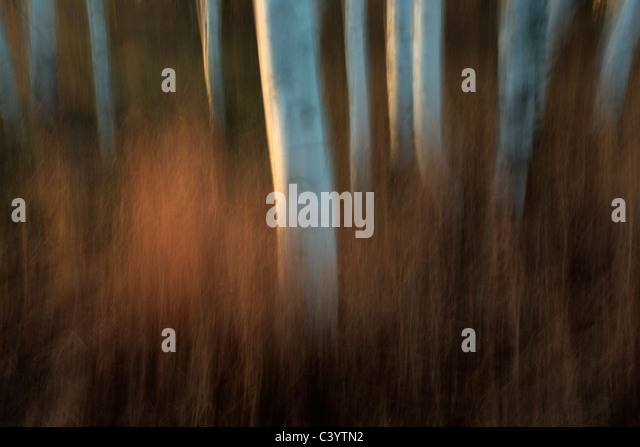Intentional camera movement makes for an artistic representation of a stand of autumn Birch trees at sunset - Stock Image