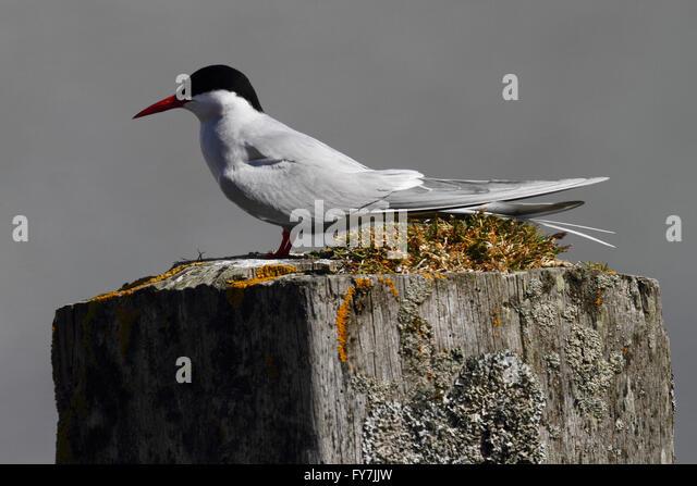 Arctic Tern (Sterna paradisaea) - Stock Image