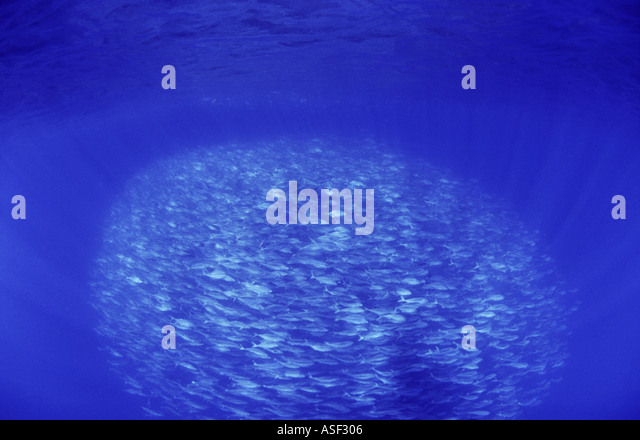 School of Trevally Pseudocaranx dentex in clear blue oceanic water Bay of Plenty New Zealand In tight baitball or - Stock Image