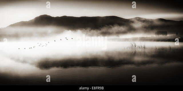 Flock of birds flying over lake - Stock Image