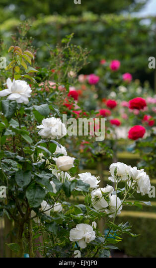 iceberg rose stock photos iceberg rose stock images alamy. Black Bedroom Furniture Sets. Home Design Ideas