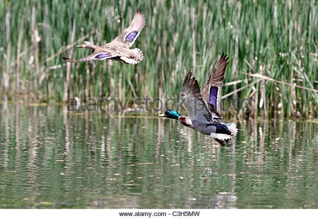 flying ducks stock photos  u0026 flying ducks stock images