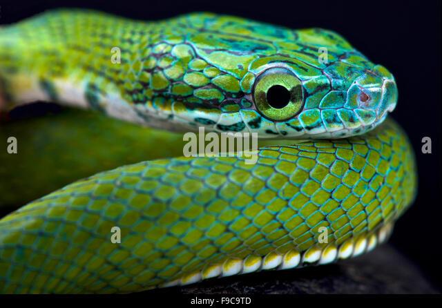Green ratsnake (Rhadinophis prasinum) - Stock Image