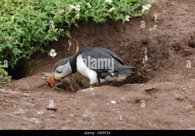 Atlantic Puffin (Fratercula artica) adult at entrance to nest burrow, retrieving dropped sandeel showing raindrops - Stock-Bilder