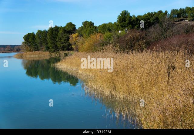 Reeds on a riverbank, Bassin du Realtor, France - Stock Image