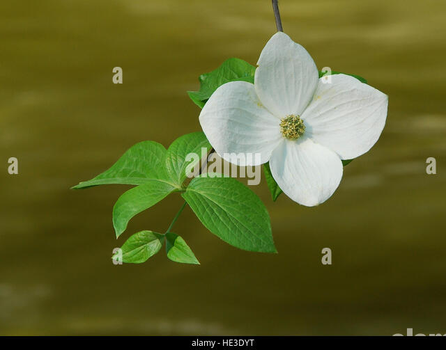 Mountain Dogwood blossom (Cornus nuttallii) - Stock Image