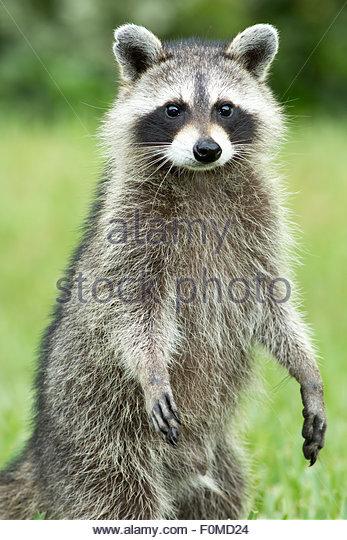 Raccoon, Jacksonville, Florida - Stock Image