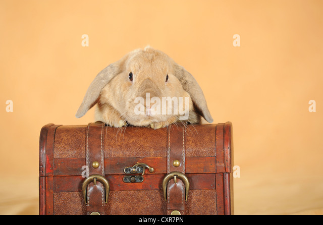 Brown dwarf English Lop rabbit leaning on a suitcase - Stock Image