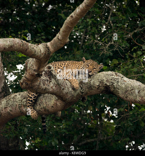 A Jaguar sleeps on a tree branch in North Pantanal, Brazil - Stock Image