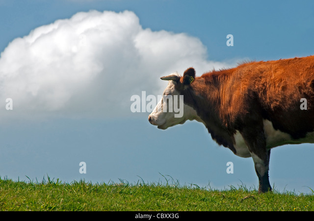 Hereford cow in pasture in The Catlins on southern coast of New Zealand's South Island. - Stock Image