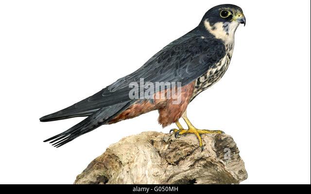 Hobby - Falco subbuteo - Stock Image