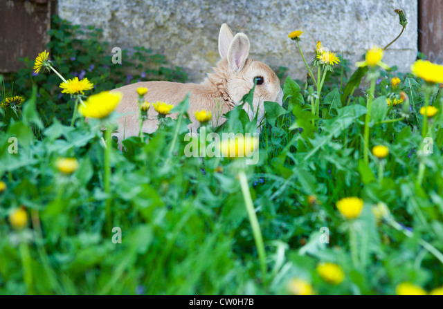 Rabbit hiding in dandelion flowers - Stock Image